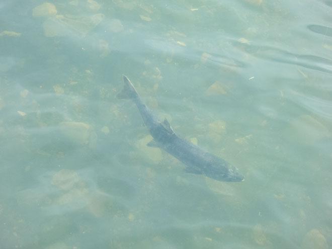 南三陸 鮭の遡上