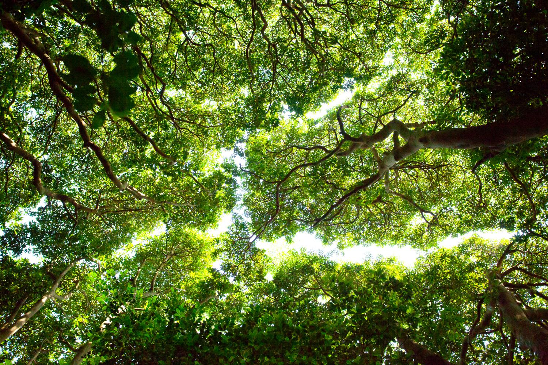 荒島 タブの木