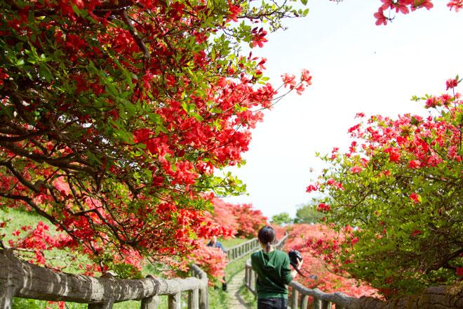 南三陸歌津 田束山(たつがねさん) のヤマツツジ2