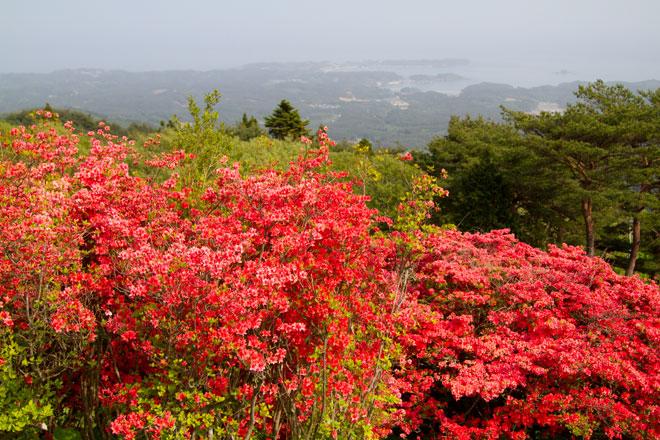 南三陸歌津 田束山(たつがねさん) のヤマツツジ18