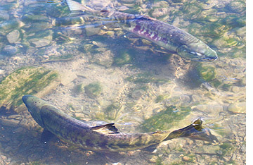 南三陸町 鮭の遡上風景