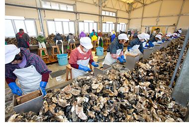 牡蠣むき場作業風景