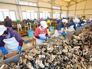 三陸牡蠣の剥き作業風景