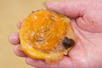 殻付きホヤのさばき方レシピ7〜黒い部分は食べられませんのでご注意ください〜